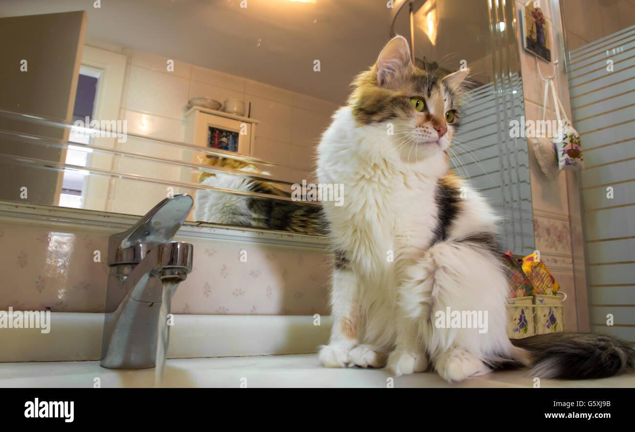 Thirsty cute cat waiting on the washbasin - Stock Image