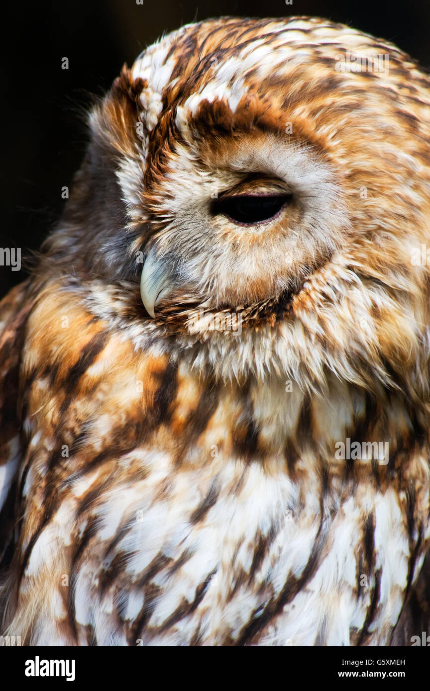 Eurasian tawny owl (Strix aluco) portait. Stock Photo