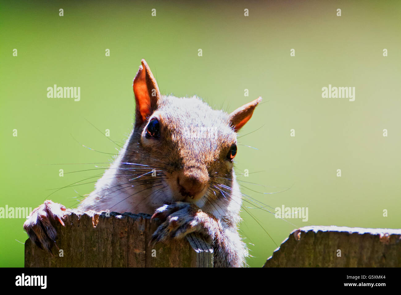 squirrel holding onto a fencepost - Stock Image