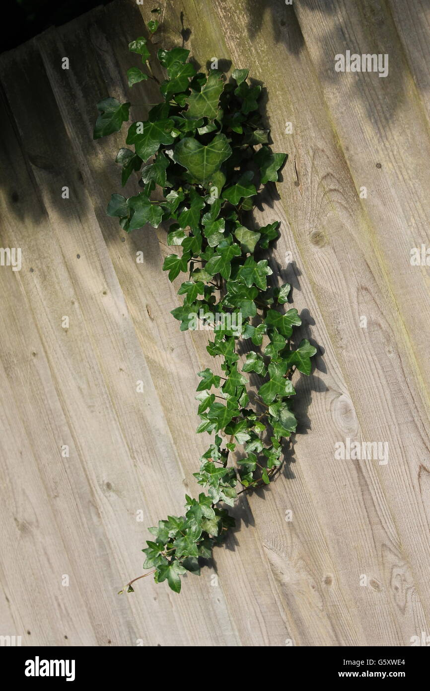 Ivy, climber, gardening, Hampshire, summer, woody plant, creeper, hedera - Stock Image