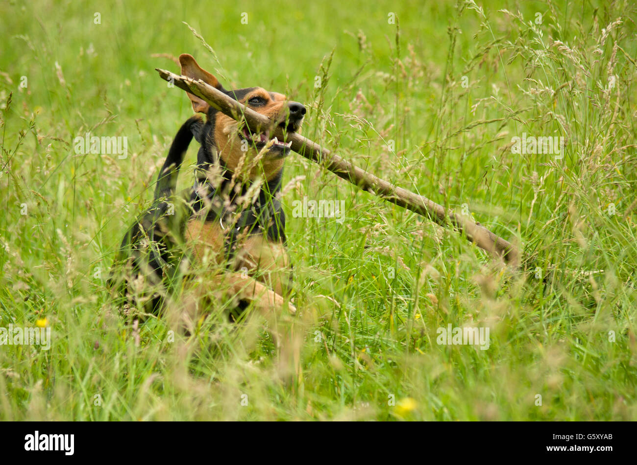 Joyful dog running through a meadow and retrieves a big stick. - Stock Image