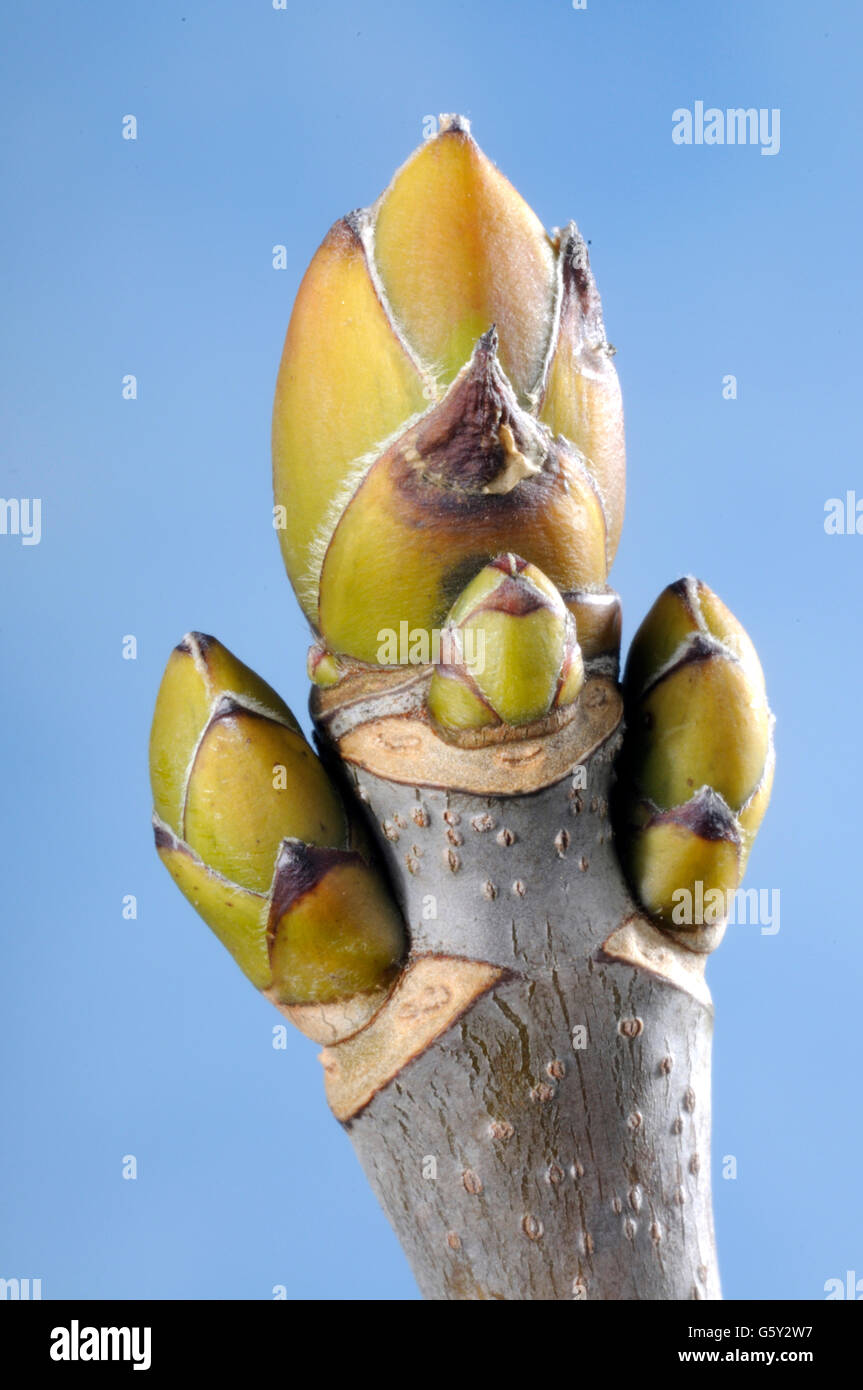 Sycamore maple, but / (Acer pseudoplatanus) Stock Photo