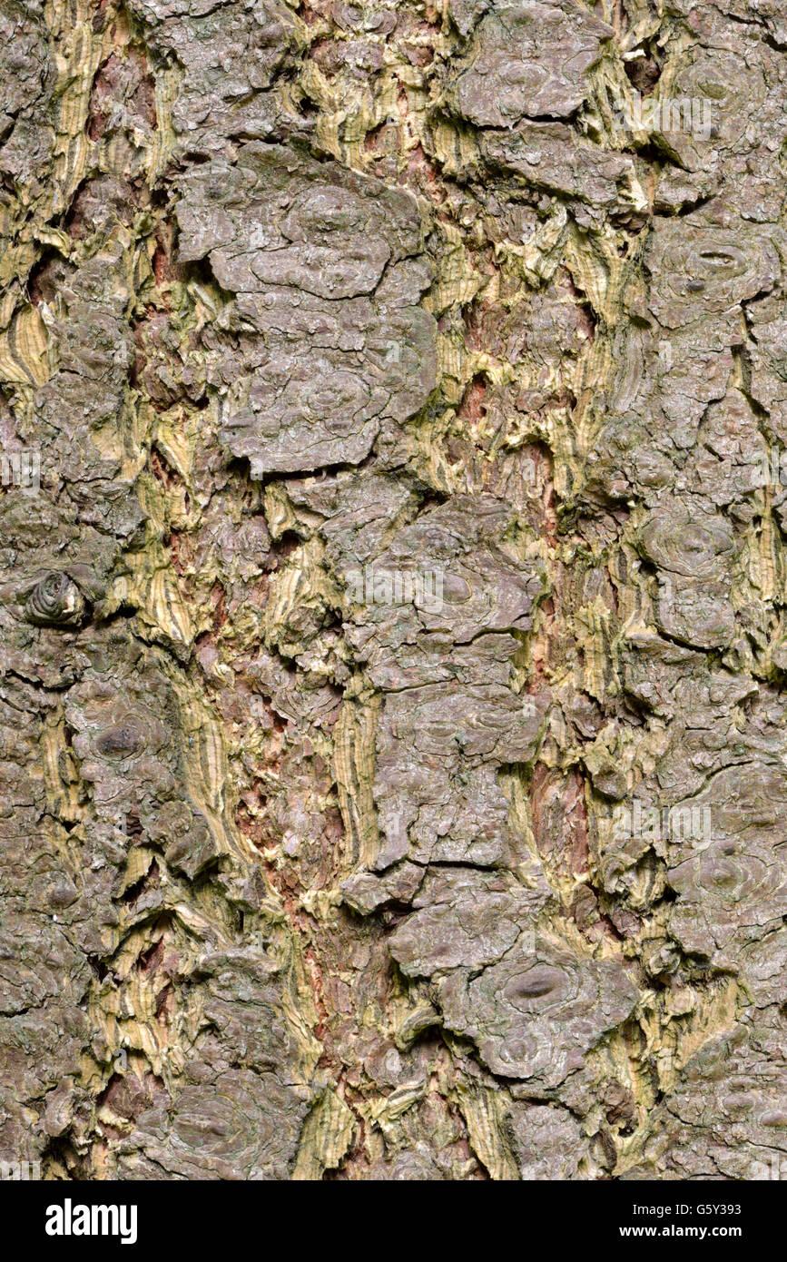 Douglas spruce bark, Douglas spruce / (Pseudotsuga menziesii) - Stock Image