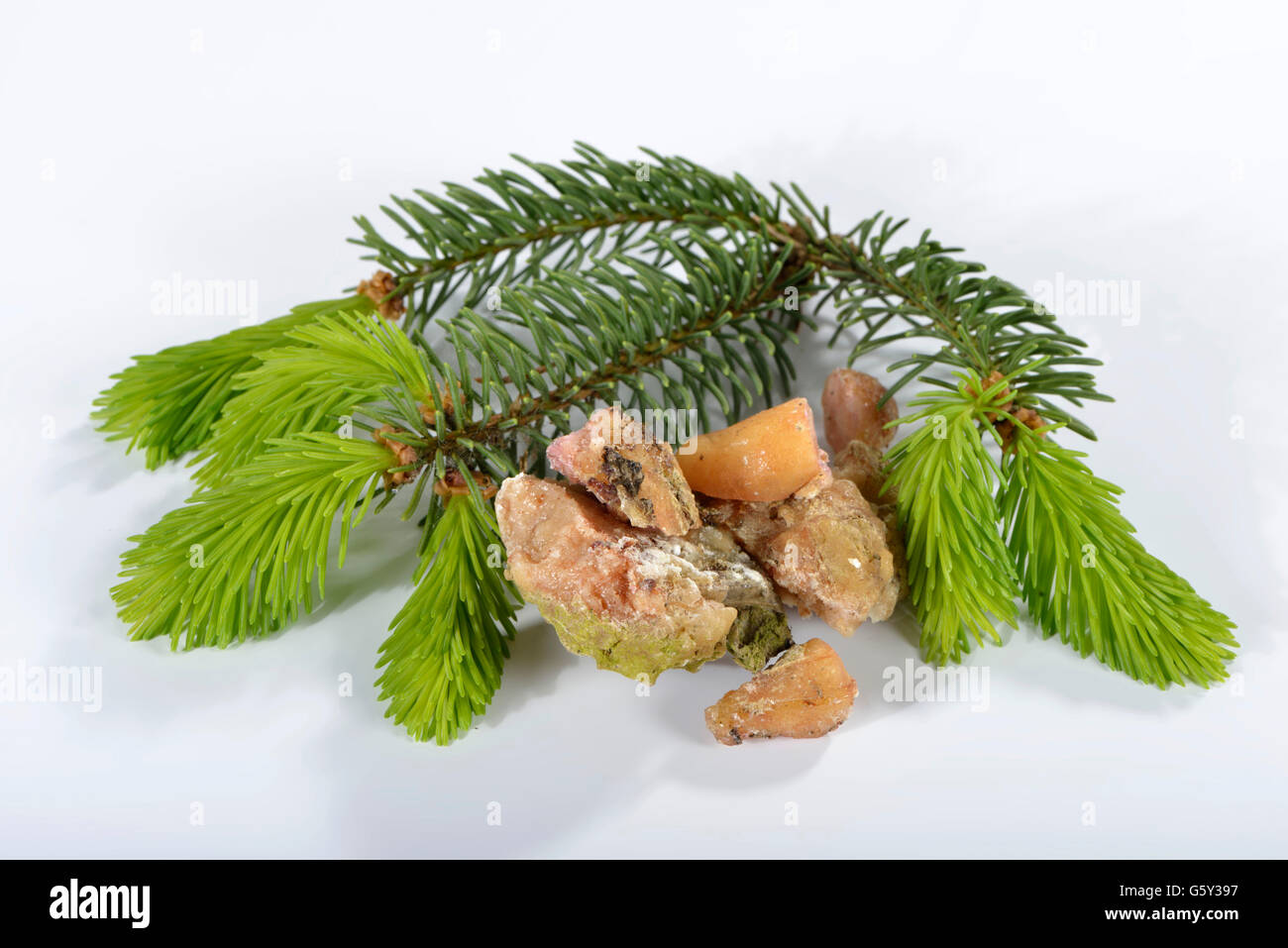 Spruce resin / (Picea abies) - Stock Image