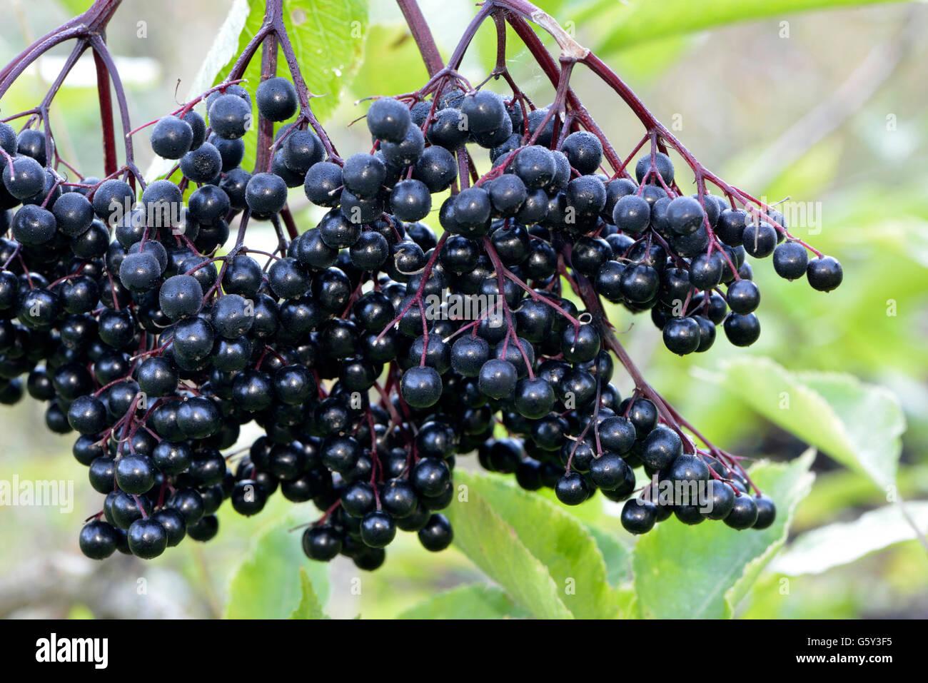 Elder berries / (Sambucus nigra) / Elder, Elderberry, Black Elder, European Elder - Stock Image