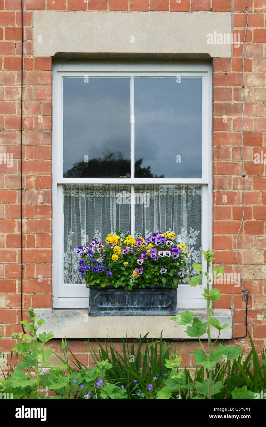 Pansy window box on a house window ledge in the cotswolds.  Ashton under Hill, Worcestershire, England - Stock Image