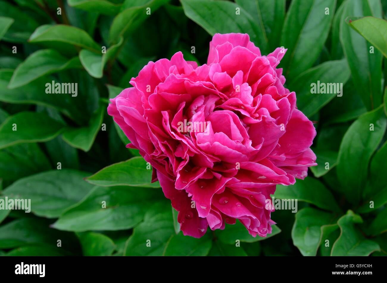 Paeonia lactiflara Agida pink Peony flower Stock Photo