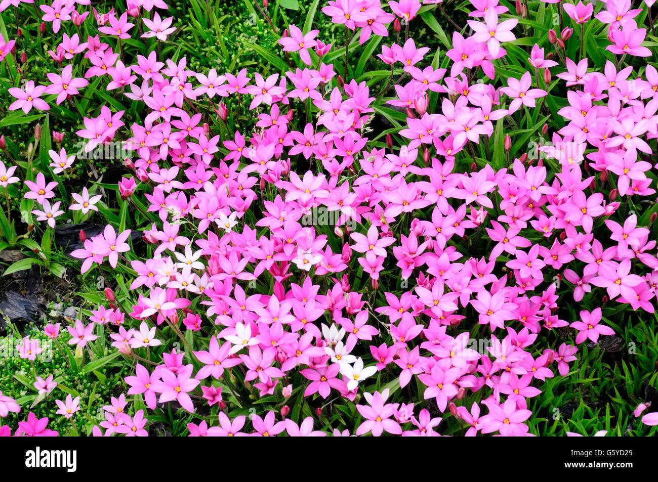 Rhodohypoxis cultivars small pink perennial flowers stock photo rhodohypoxis cultivars small pink perennial flowers mightylinksfo