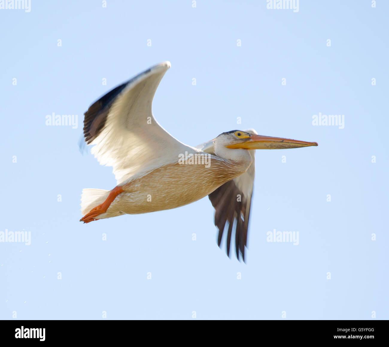 Pelicans Pelecanus Erythrorhynchos: Pelecanus Erythrorhynchos Stock Photos & Pelecanus