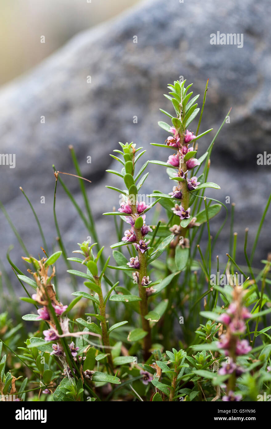 black saltwort (Glaux maritima) growth - Stock Image