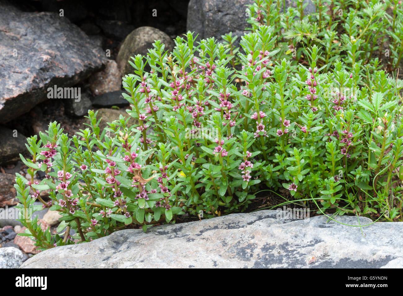 Sea milkwort (Lysimachia maritima) growth on rocky beach - Stock Image