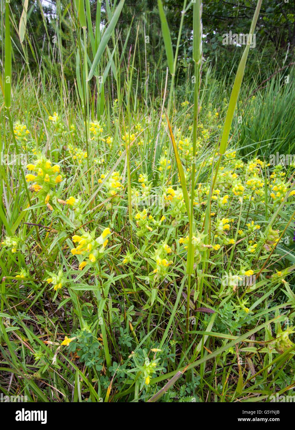 Greater Yellow-rattle (Rhinanthus angustifolius) - Stock Image