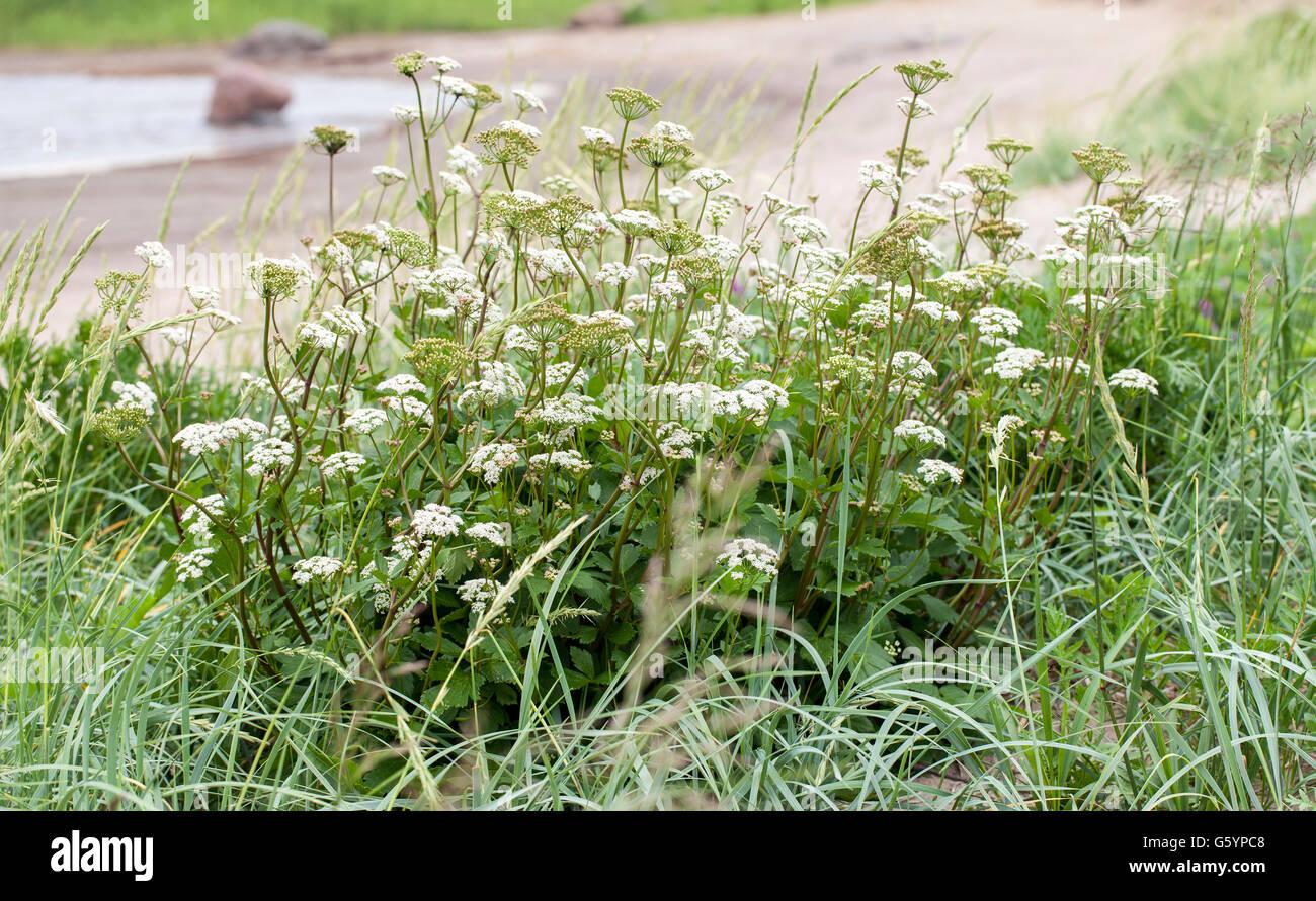 Scots lovage (Ligusticum scoticum) - Stock Image