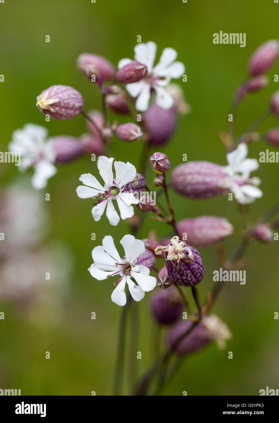 Bladder campion (Silene vulgaris var. littoralis) - Stock Image