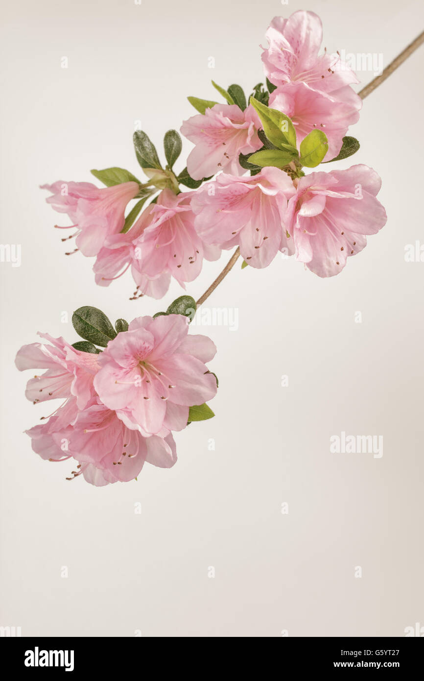 Muted pink azalea blooms on branch with leaves. Lightly edited with filters and added vignette. - Stock Image