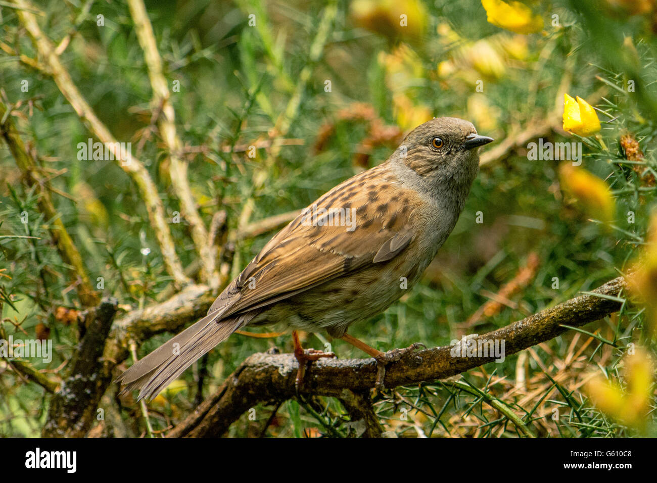 A Dunnock on a wet branch - Stock Image