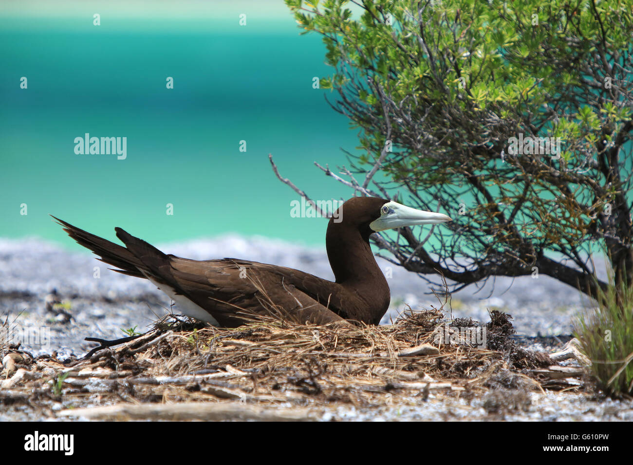 Nesting Brown Booby bird, Christmas Island, Kiribati - Stock Image