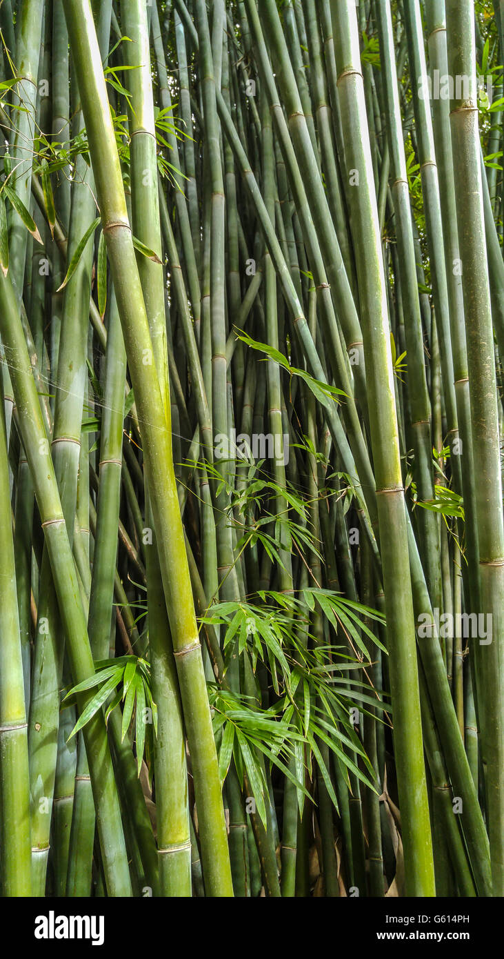 close up of bamboo stalks at Kanapaha Gardens - Gainesville, Florida - Stock Image