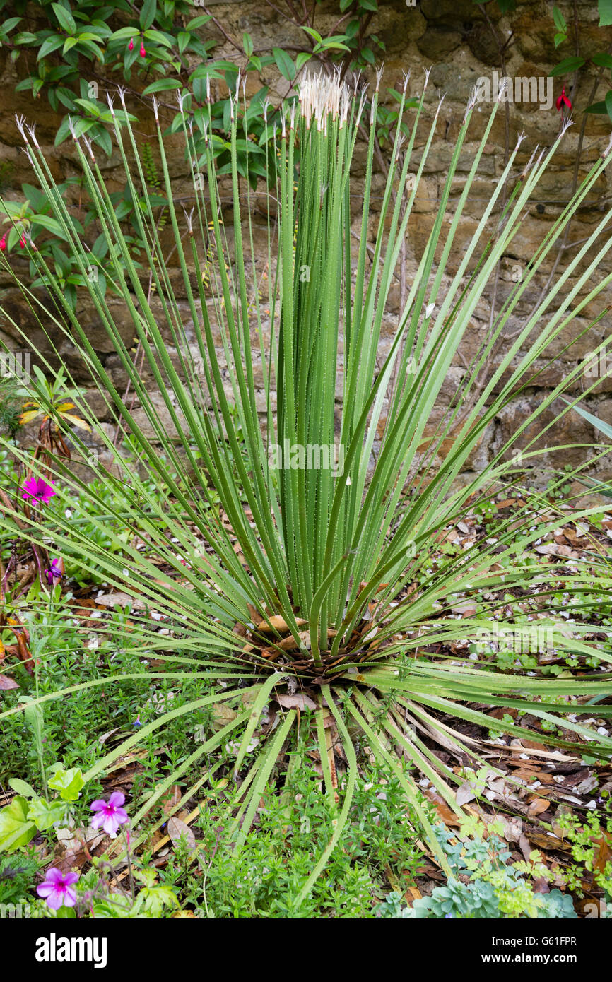 Young plant of the yucca relative, Dasylirion acrotrichum, with spined grassy foliage, each leaf with a terminal - Stock Image