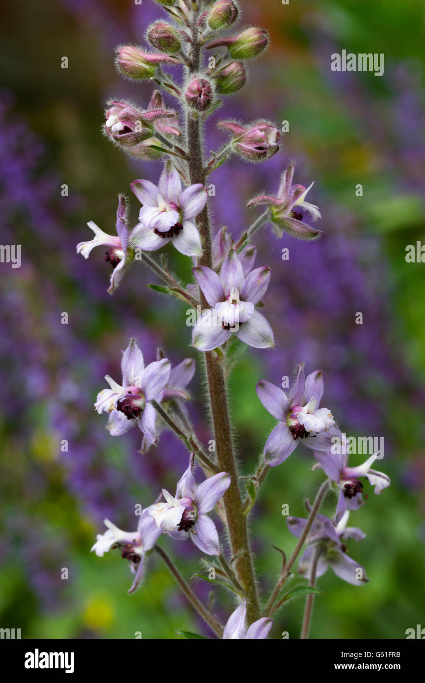 Spaced out lilac and brown flowers of the herbaceous biennial, Delphinium requienii - Stock Image