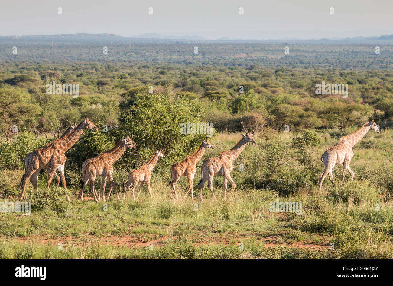 Giraffes in African Safari - Stock Image