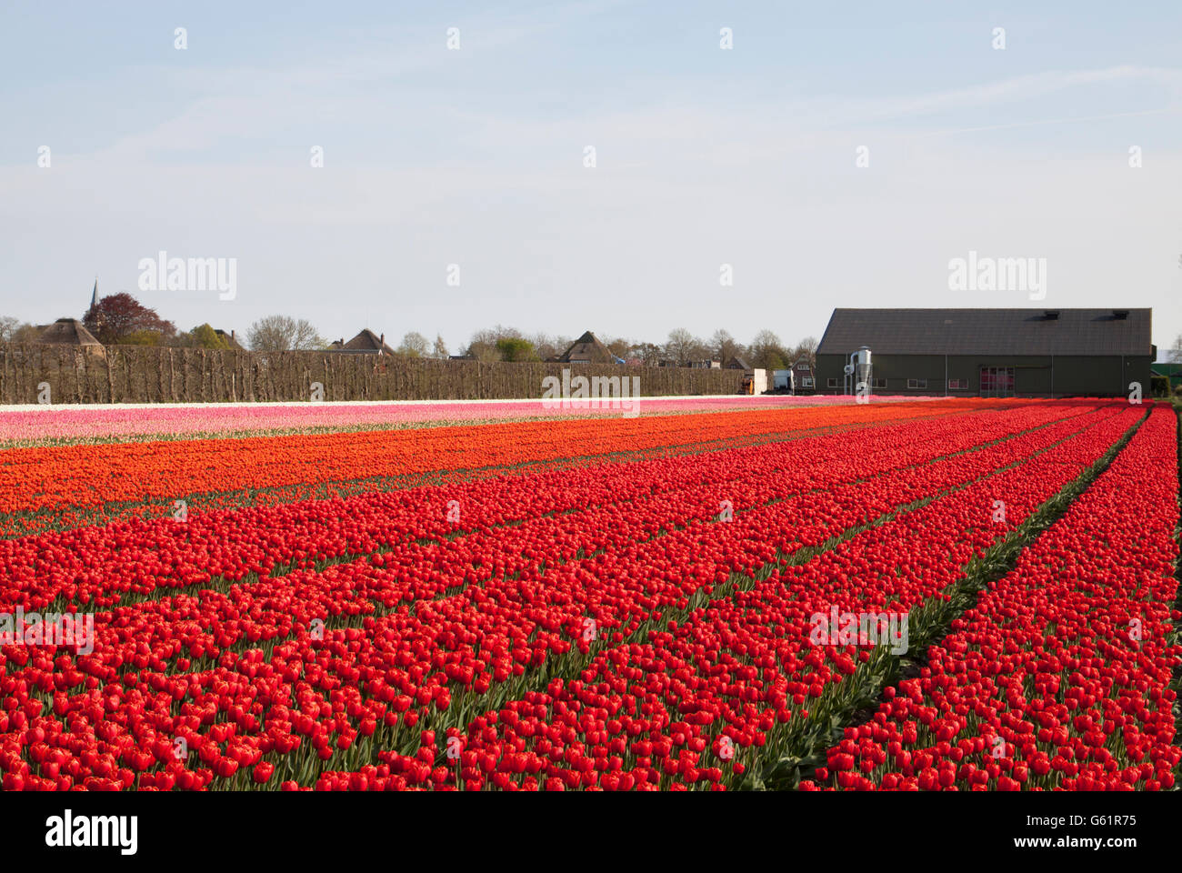 Colored tulips in a row in the Dutch spring. Nature picture Stock Photo