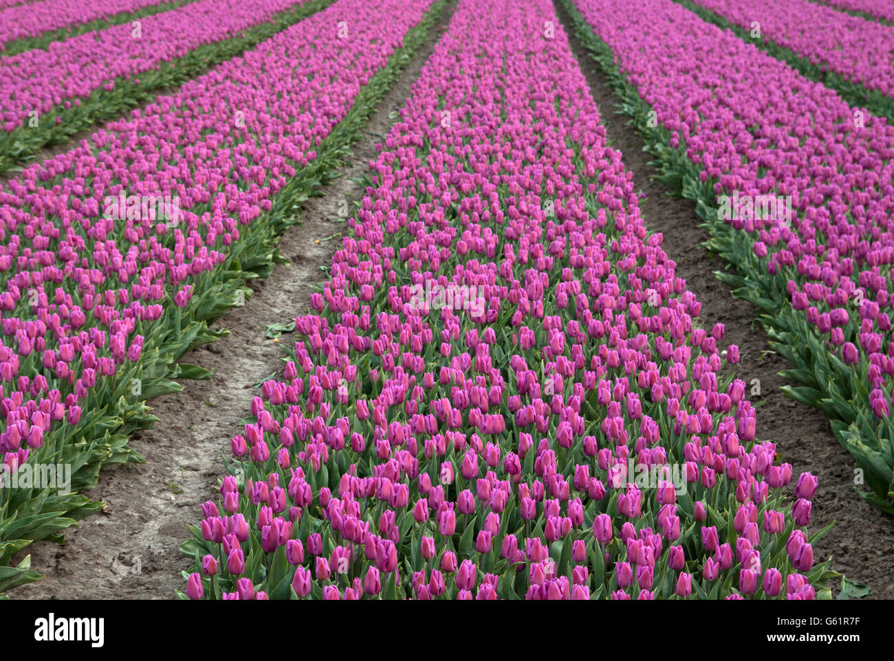 Dutch tulips in a row (Pattern image) Stock Photo