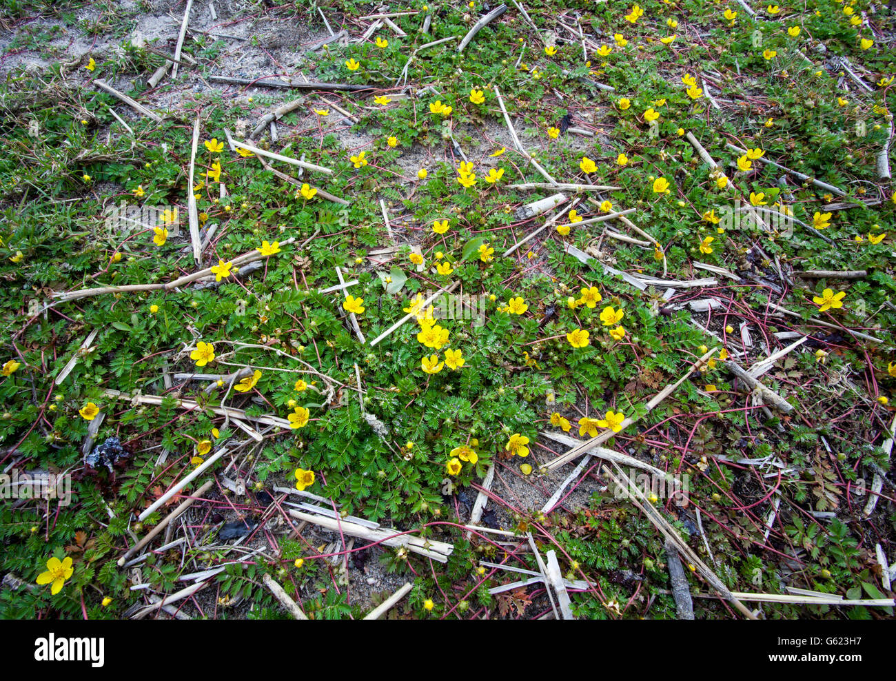 Common silverweed (Potentilla anserina) - Stock Image