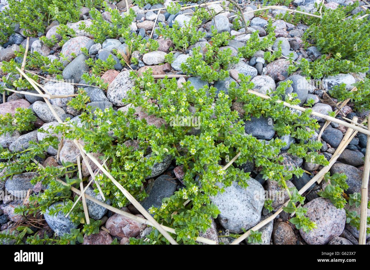 Sea sandwort (Honckenya peploides) - Stock Image