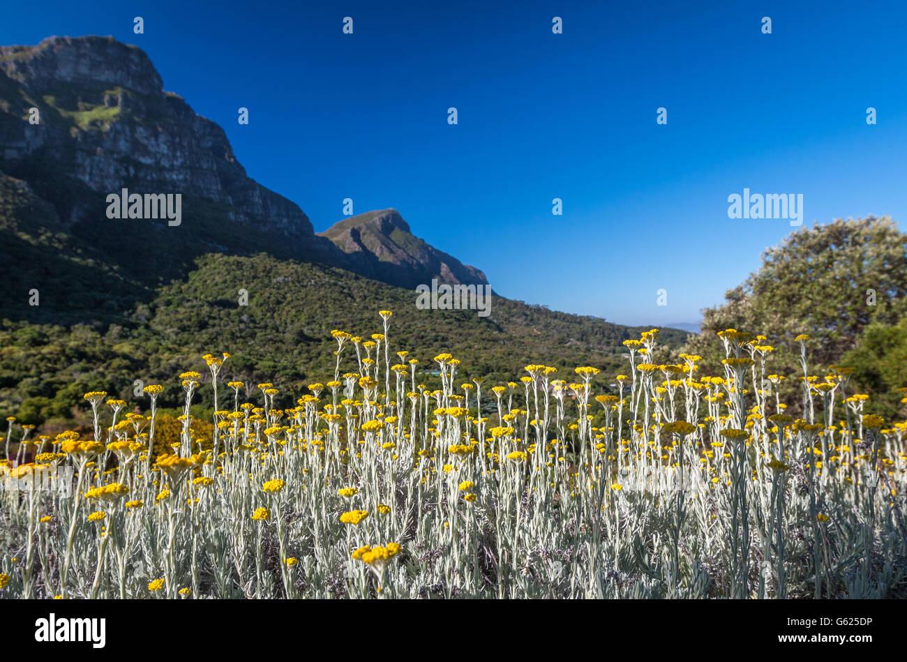 Kirtenbosch park in South Africa Cape town - Stock Image