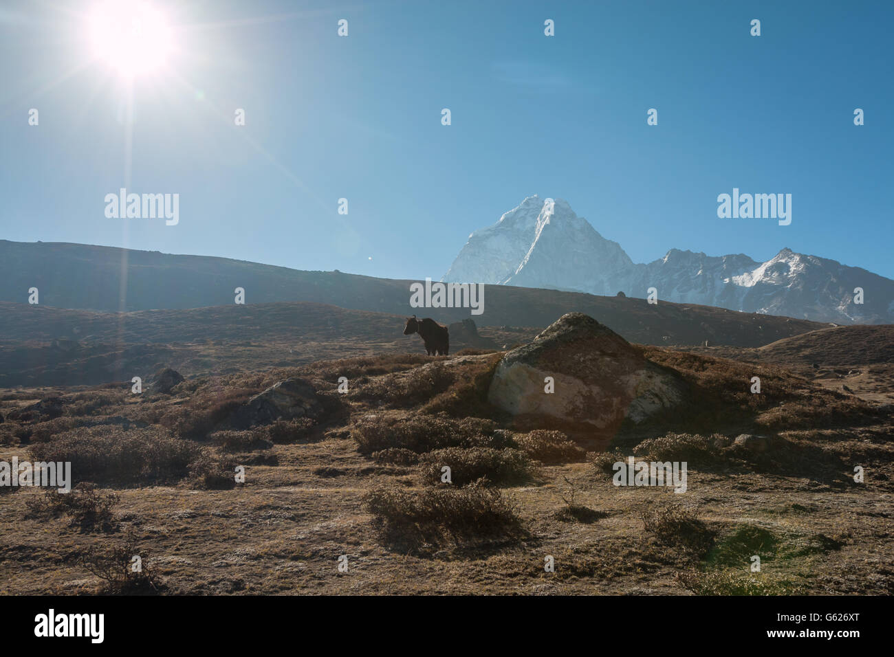 Yak in Himalayan mountain - Stock Image