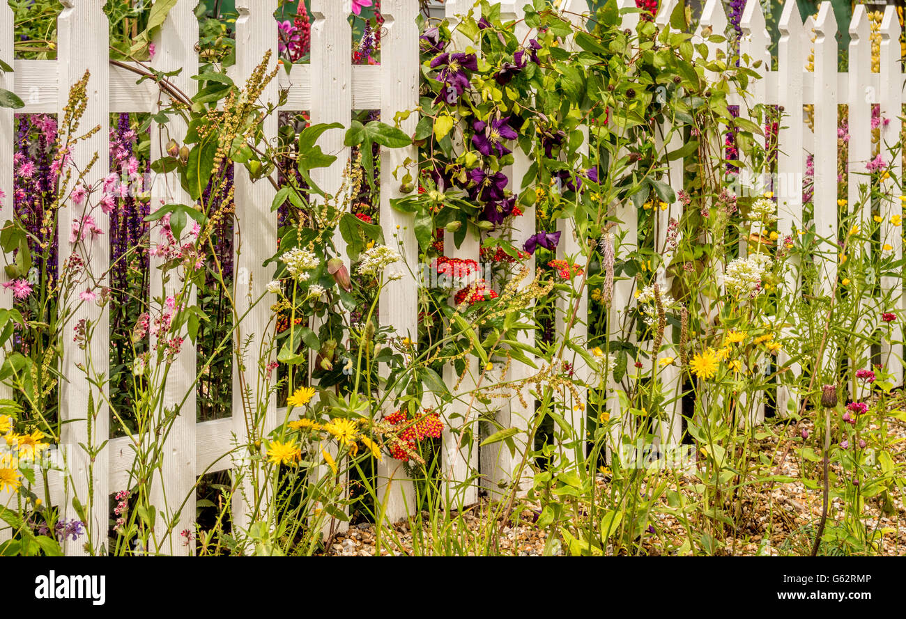 White picket fence with clematis and wild flowers growing through slats - Stock Image
