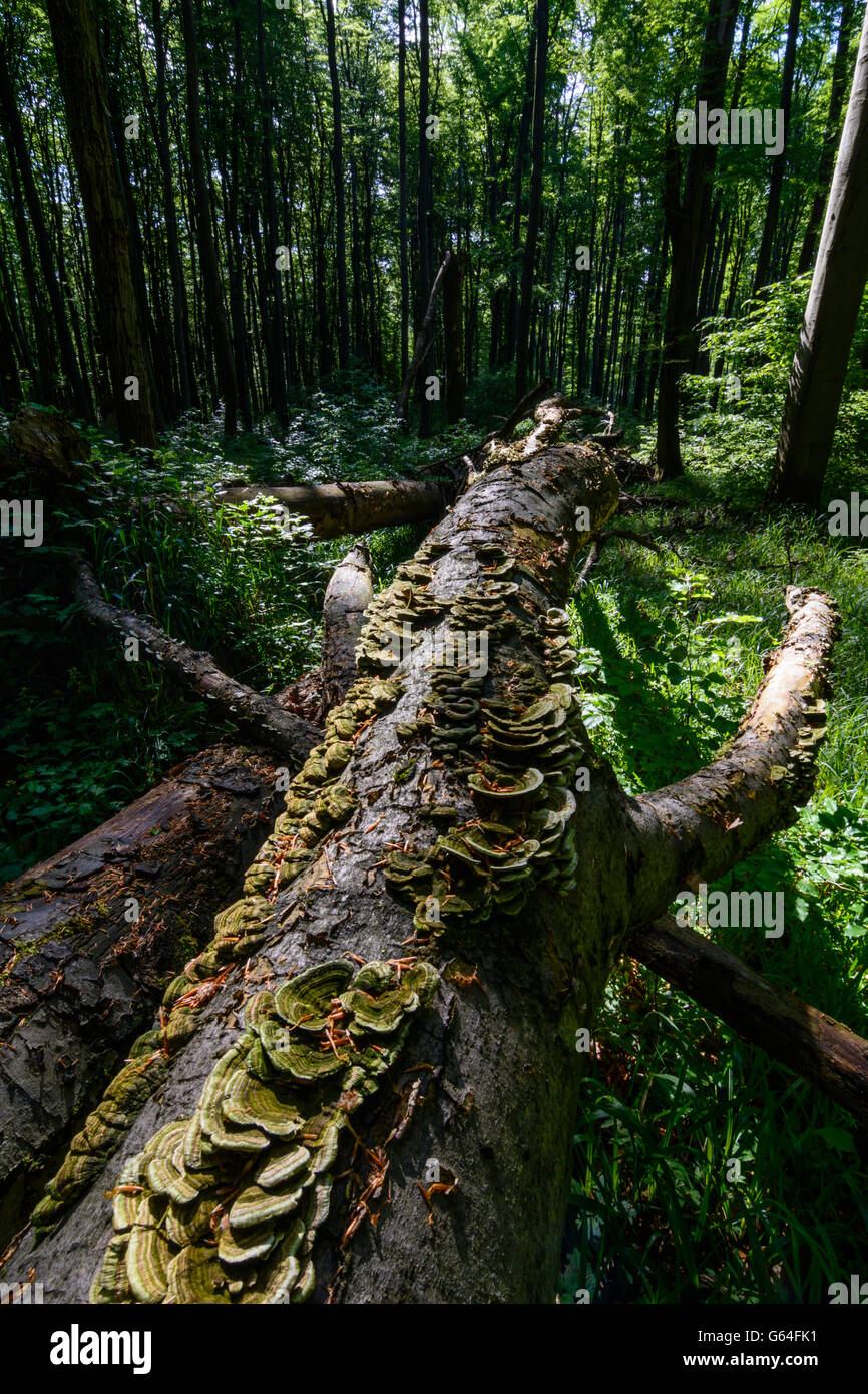 fallen beech (Fagus sylvatica ) , which is no longer eliminated and is part of a primeval forest in the Vienna Woods - Stock Image