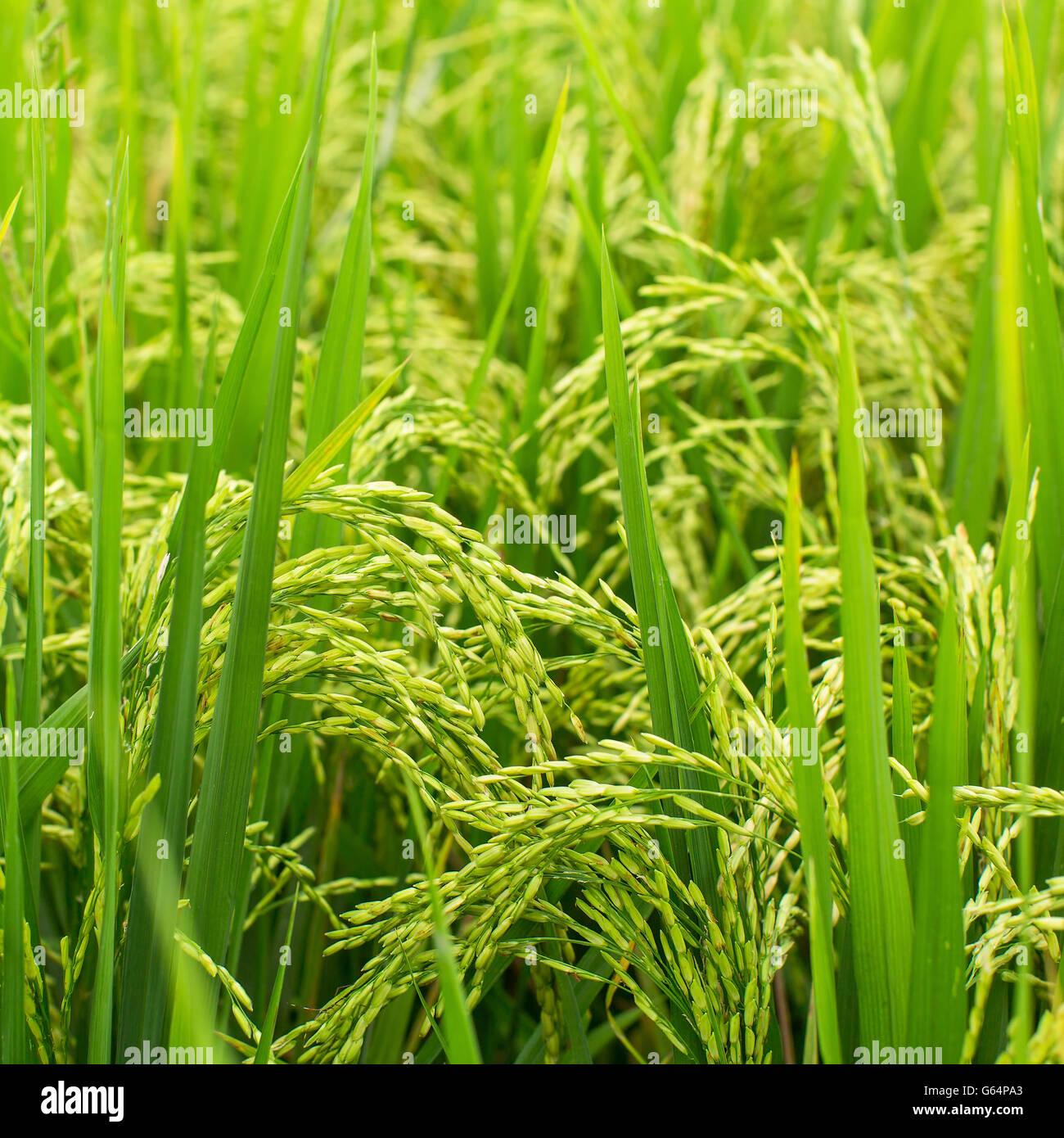 Ears of corn closeup on green rice field. - Stock Image
