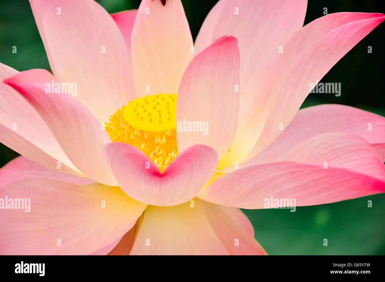 Lotus Flower And Lotus Flower Plants Stock Photo 107081293 Alamy