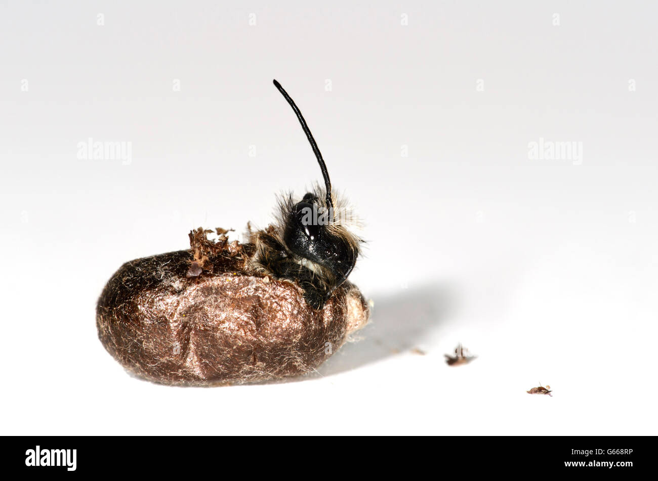 Red mason bee (Osmia bicornis) hatching, fully developed bee biting through cocoon, Switzerland - Stock Image