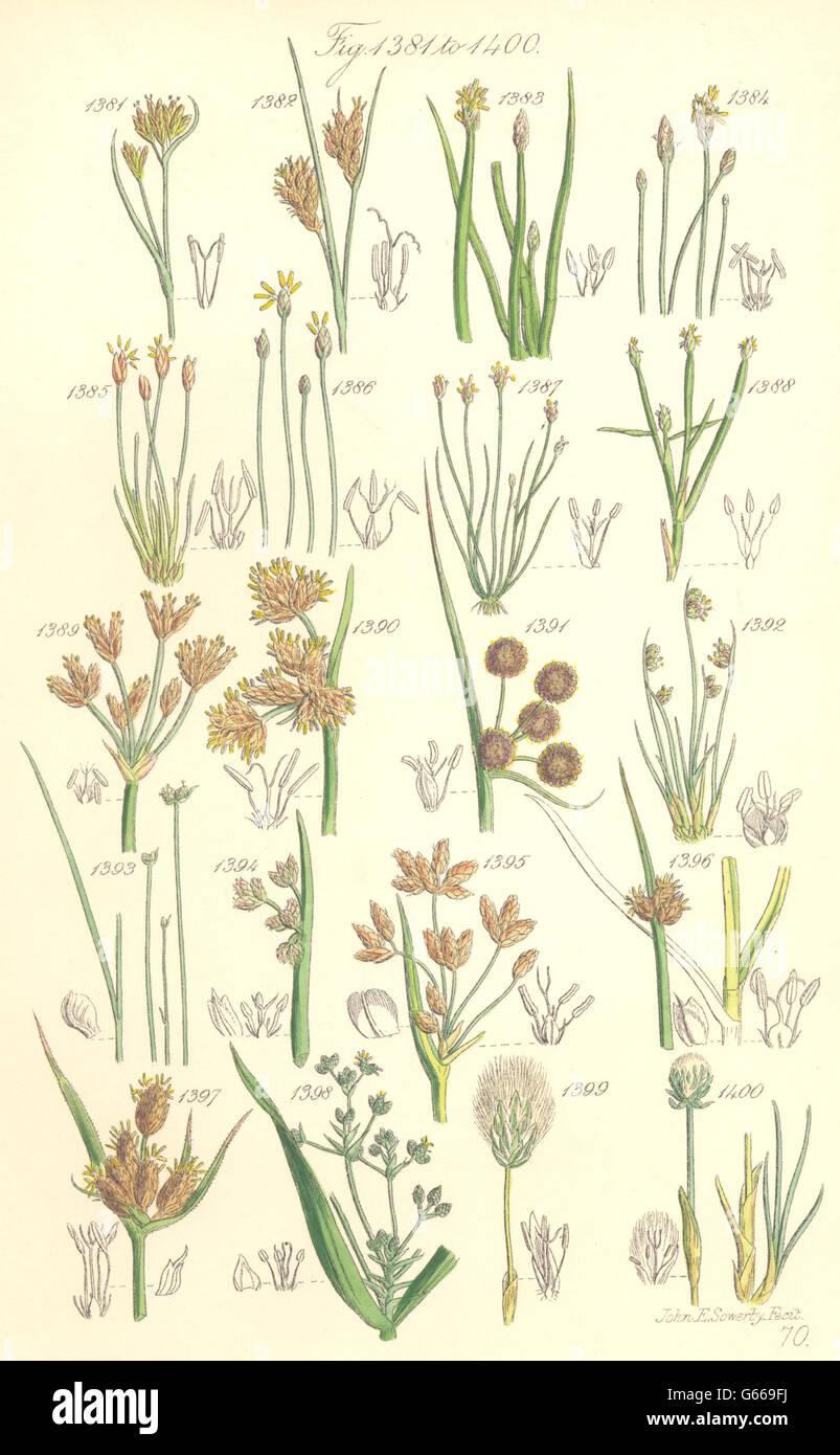WILD FLOWERS: Beak-rush Spike-Water-Bull-Club-Cotton-grass. SOWERBY, 1890 Stock Photo
