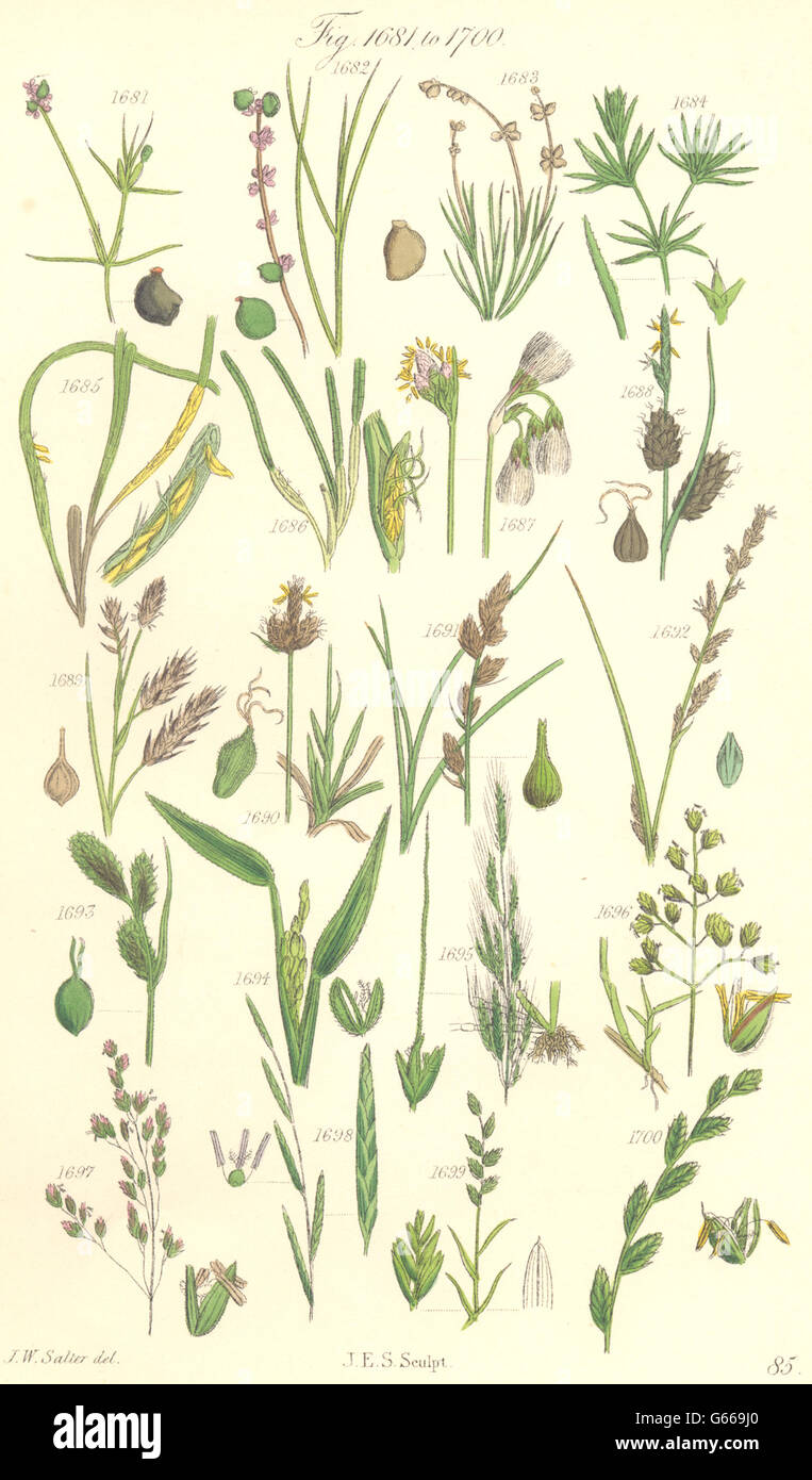 WILD FLOWERS:Pond-weed;Cotton-Cut-Wind-Meadow-Flote-Wheat-Rye-grass.SOWERBY 1890 - Stock Image