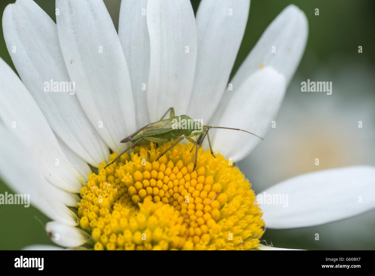A Common Green Capsid bug on an ox-eyed daisy flower - Stock Image