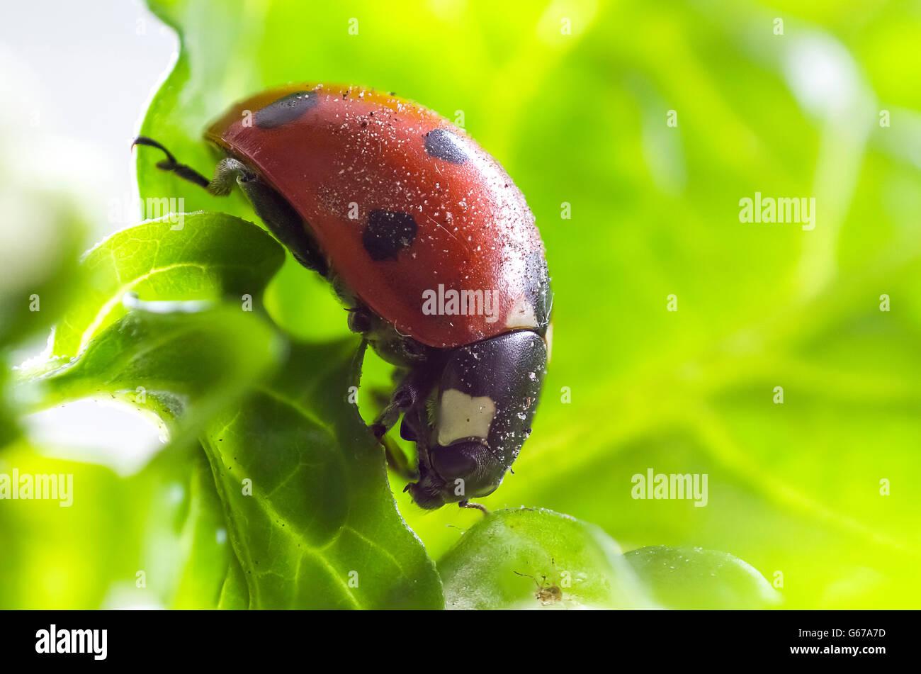 Marienkäfer Makro Ladybug macro - Stock Image