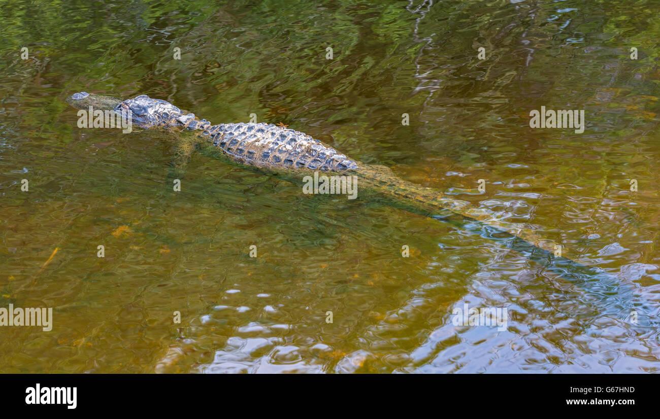 Florida, Big Cypress National Preserve, American Alligator (Alligator mississippiensis) viewed from Turner River - Stock Image