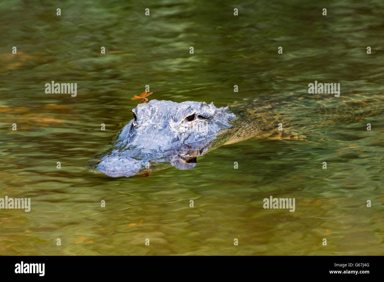 Florida, Big Cypress National Preserve, American Alligator (Alligator mississippiensis) viewed from Turner River - Stock Image