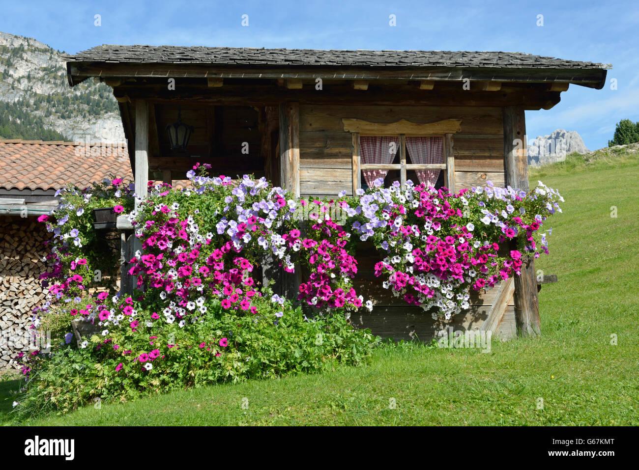 Woodshed with petunia / (Petunia × hybrida) / Groednertal, South Tirol, Italy - Stock Image