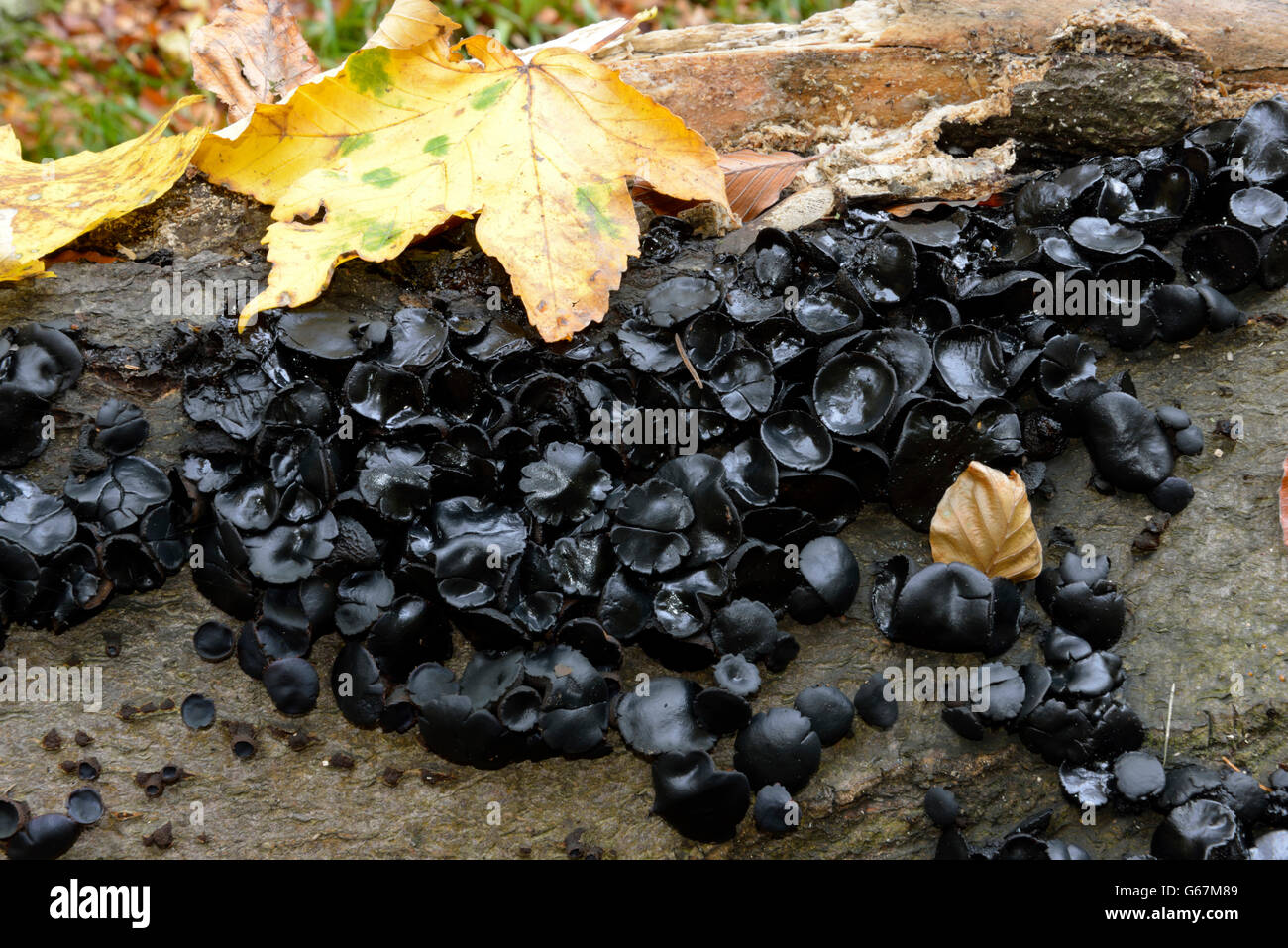 Black witches' butter, black jelly roll, warty jelly fungus / (Exidia truncata) - Stock Image