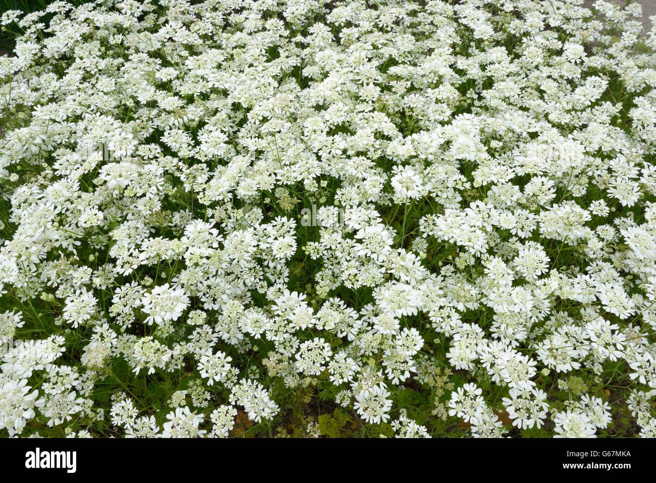 White lace flower / (Orlaya grandiflora) Stock Photo