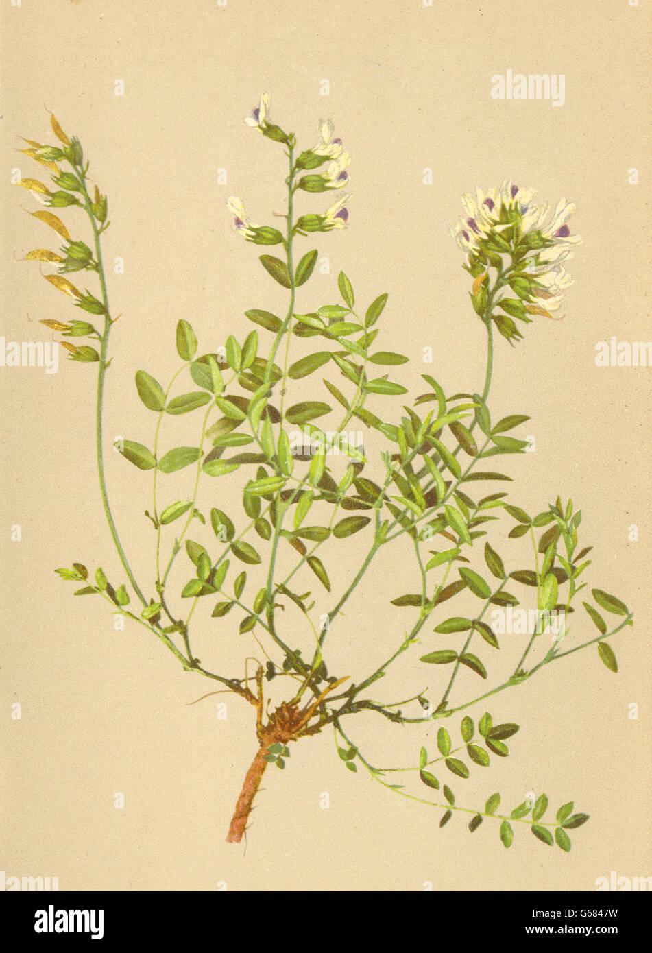 ALPENFLORA ALPINE FLOWERS: Astragalus australis (L. ) Lam-Südlicher Tragant 1897 Stock Photo