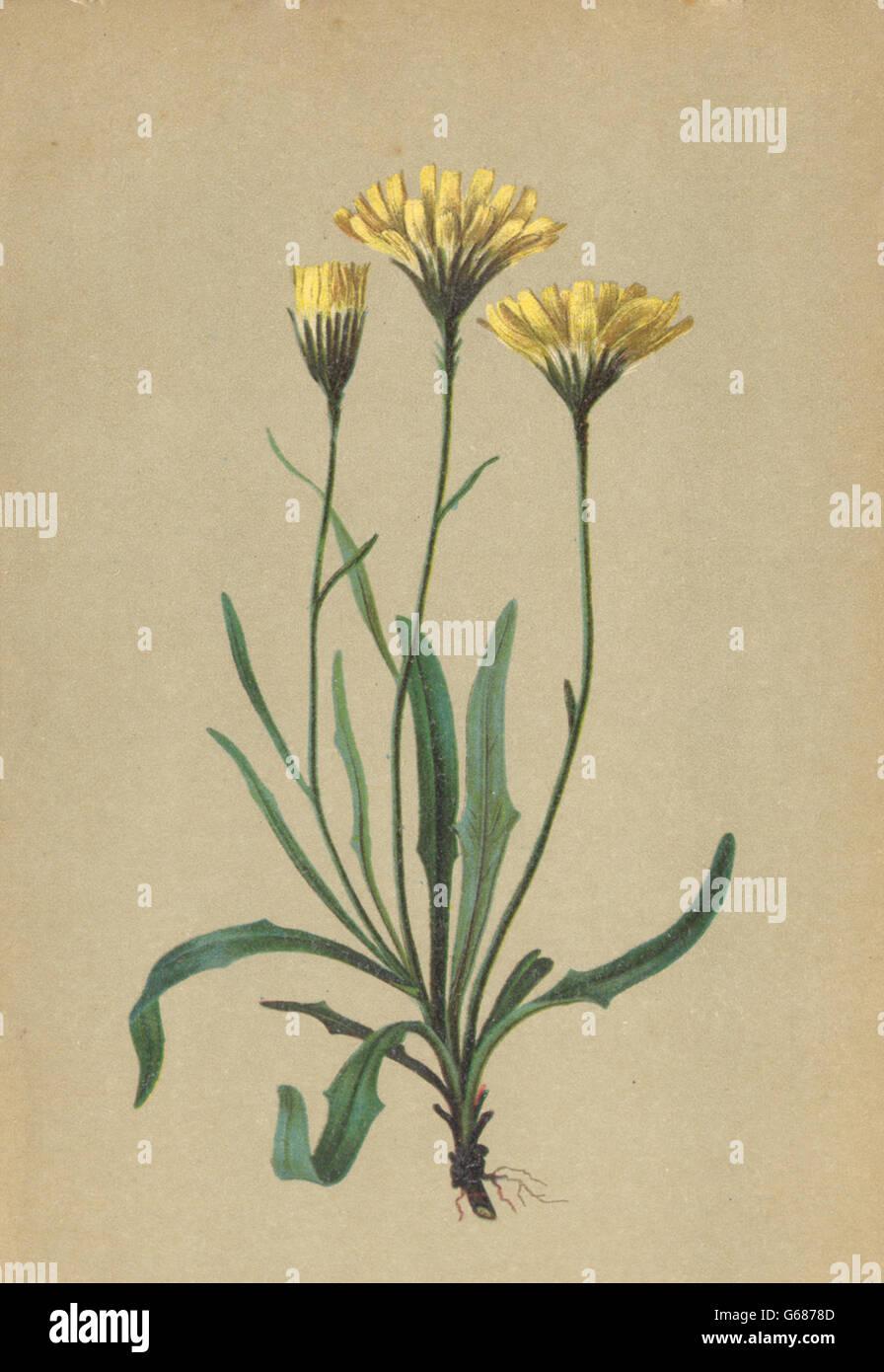 ALPENFLORA: Hieracium staticifolium Vill-Grasnelkenblättriges Habichtskraut 1897 Stock Photo