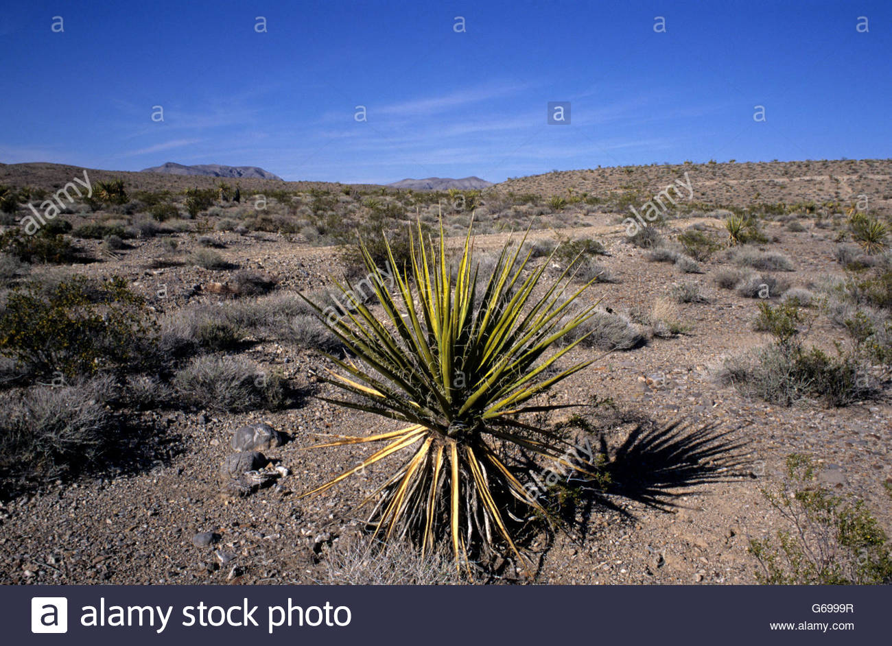 mohave yucca plant nevada desert lincoln county nevada stock