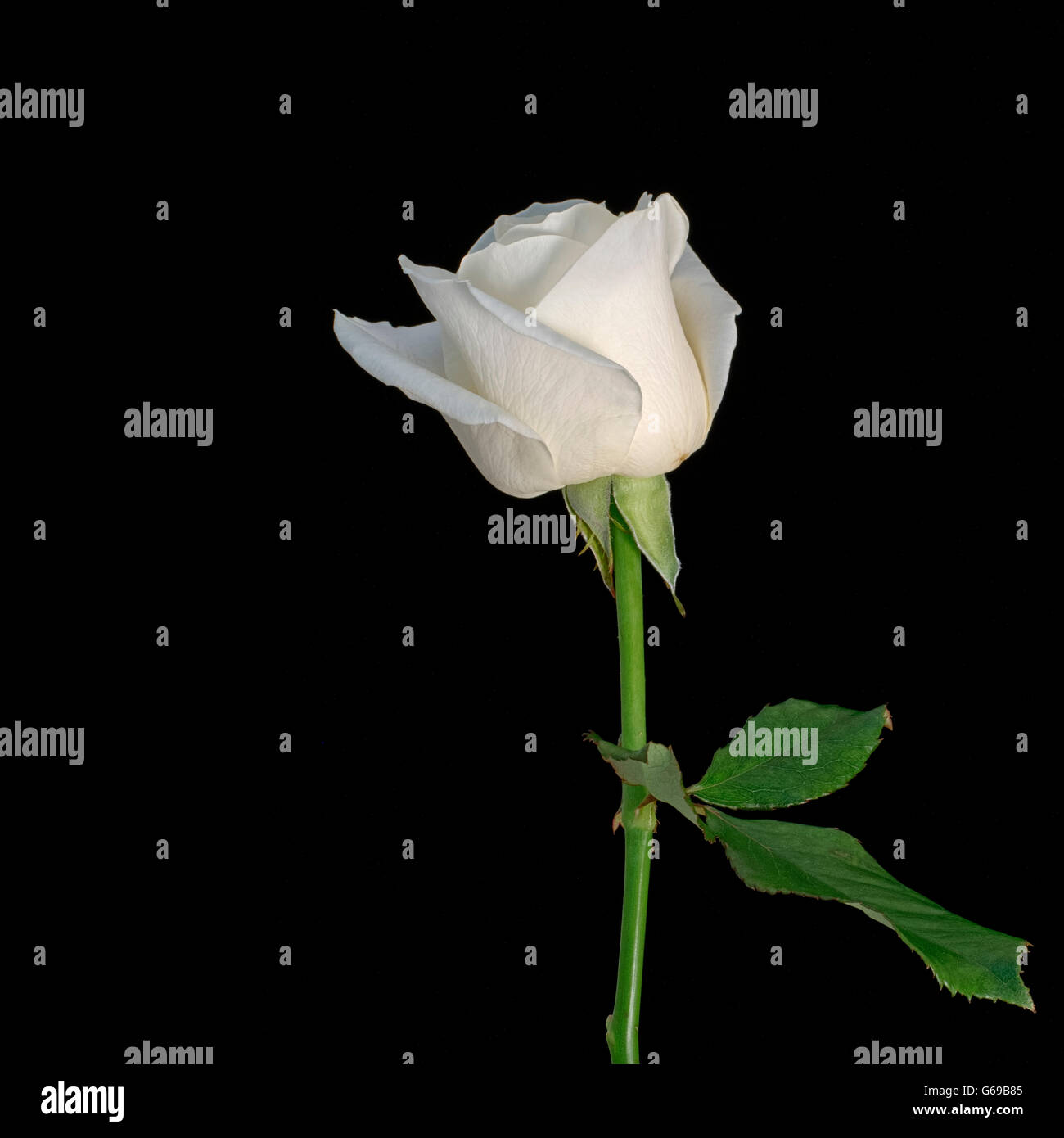 Aimple white rose isolated on black. - Stock Image