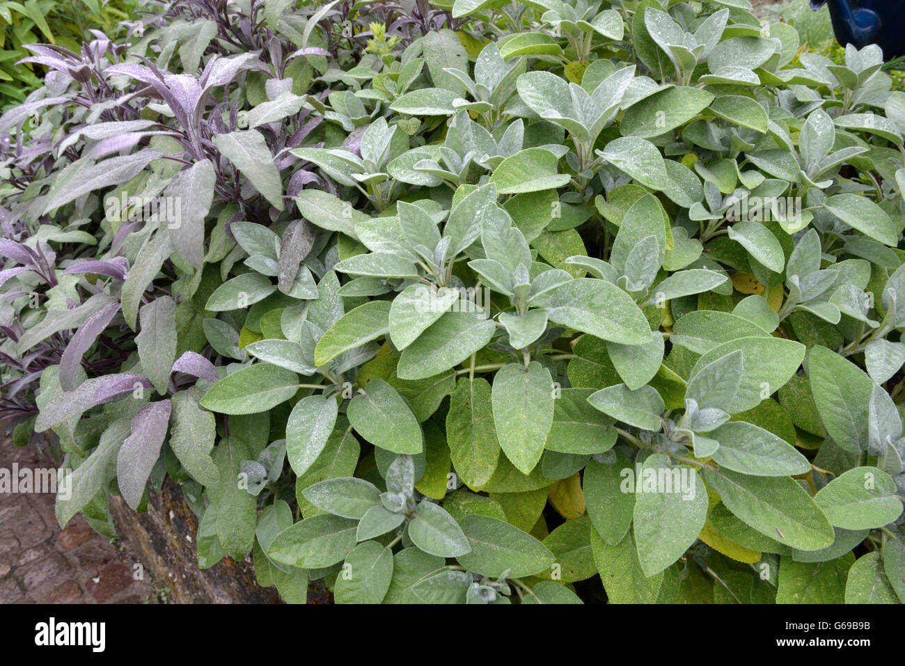Sage, varieties Purpurascen and  Berggarten / (Salvia officinalis) - Stock Image